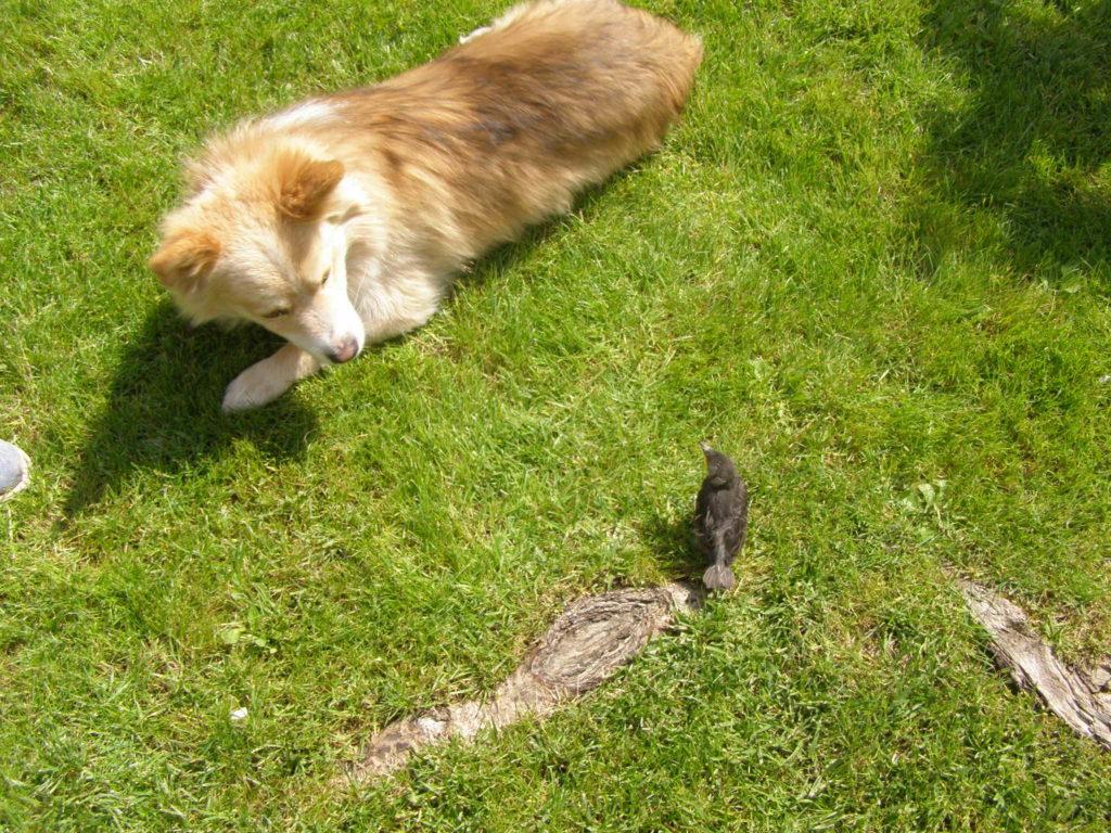 Średniej wielkości piesek leżący na trawie, patrzący z ciekawością na siedzącego dość blisko młodego szpaka