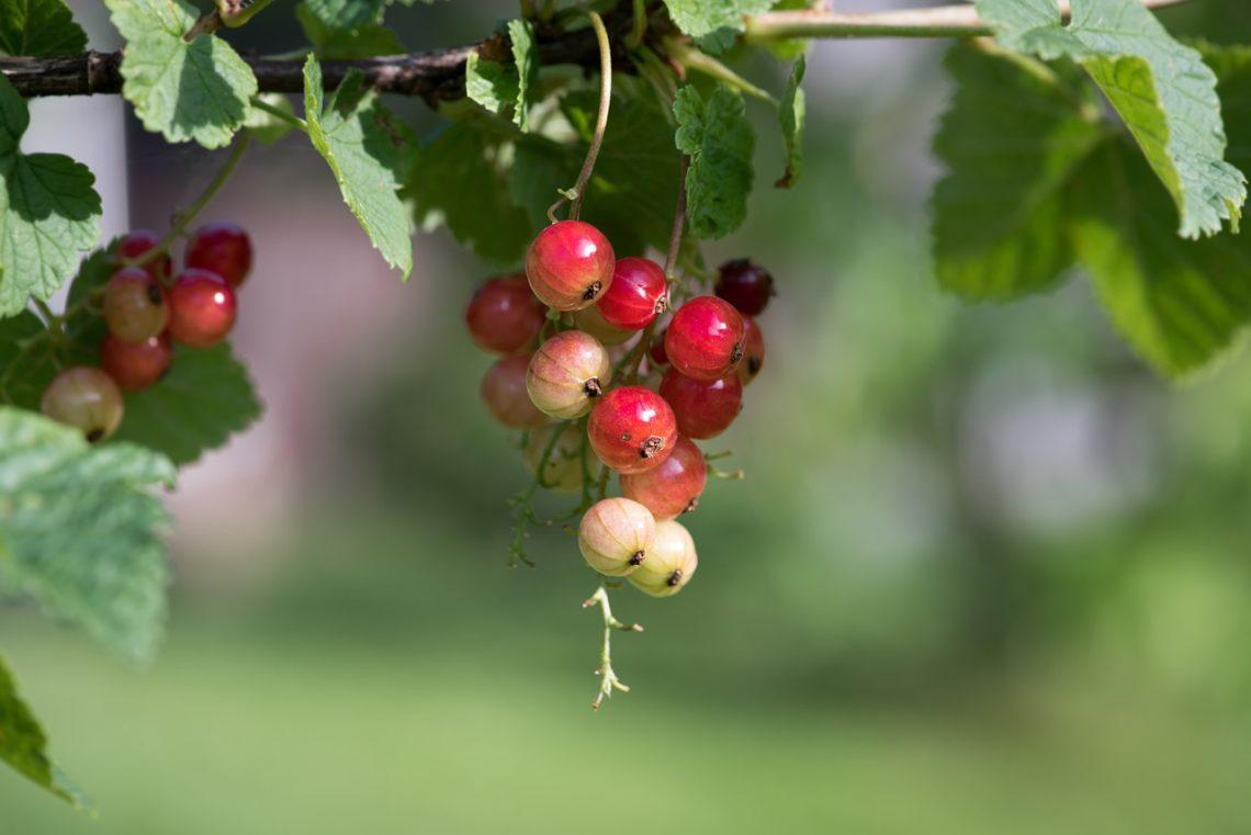 Niedojrzałe owoce