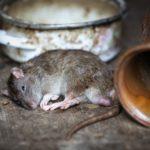 Dżuma obudzi swe szczury