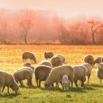 Zbawiciel nasz pozostawia «owieczki wierne na pustyni»